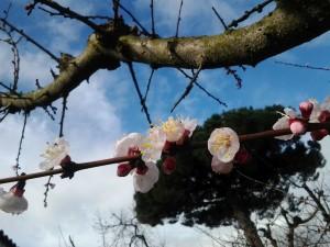 fiori albicocchi