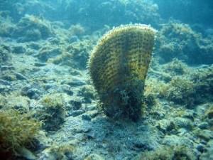 """La """"pinna nobilis"""", il più grande mollusco bivalve del mediterraneo, può raggiungere anche 1 m di lunghezza"""