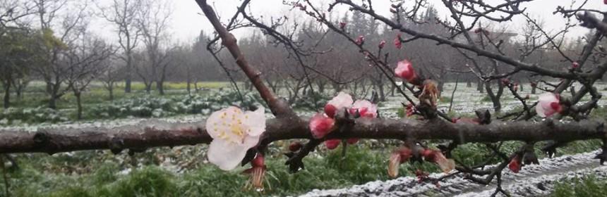 albicocchi-neve