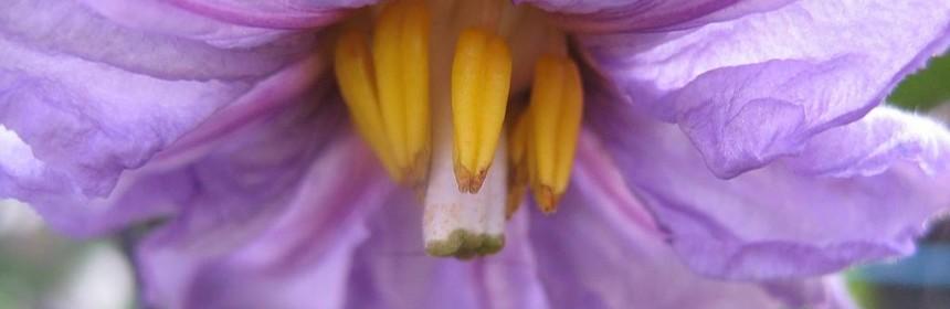 fiore di melanzana